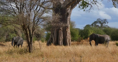 Elephants Under Baobab Tree