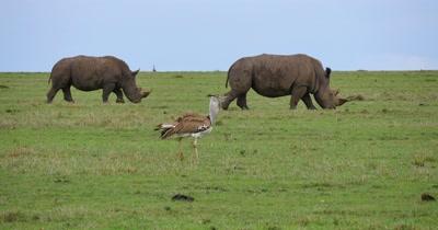 Kori Bustard and Rhinos
