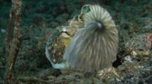 Coconut Octopus plays with paper nautilus