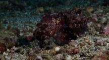 Flamboyant Cuttlefish (Metasepia Pfefferi) Female Laying Eggs And Mating Again