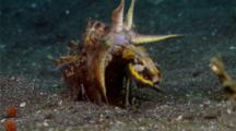 Flamboyant Cuttlefish Opening Arms And Mating