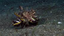 Flamboyant Cuttlefish Mating