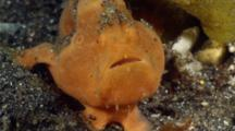 Painted Frogfish (Antennarius Pictus) Swallowing Water To Inflate