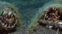 Coconut Octopus Mating