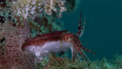Pygmy Cuttlefish changing color and hunting