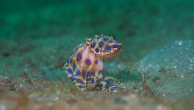 Blue-ringed Octopus (Hapalochlaena sp.) with eggs