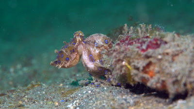 Blue-ringed Octopus (Hapalochlaena sp.) hunting