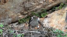 Adult Bonelli's Eagle In Nest Where An Approximately 7-10 Day Old Chick Waits To Be Fed