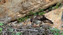 Adult Bonelli's Eagle In Nest Preparing To Feed  Approximately 7-10 Day Old Chick Waits To Be Fed