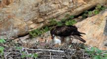 Bonelli's Eagle Feeding Chick In Nest,With Chick Unable To Swallow Head Of Small Bird Adult Is Trying To Feed It.