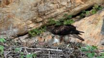 Bonelli's Eagle Feeding Chick In Nest, With Chick Unable To Swallow Head Of Small Bird Parent Is Offering, So Parent Eventually Swallows It