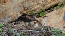 Bonelli's Eagle Feeding Chick In Nest