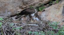 Adult Bonelli's Eagle In Nest Feeding  Approximately 7-10 Day Old Chick