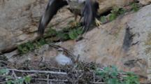 Adult Bonelli's Eagle Taking Off From Nest With 7-10 Day Old Chick In It