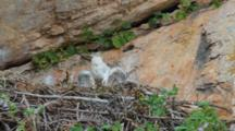 Bonelli's Eagle Chick Approximately 7-10 Days Old Defecating Over Edge Of Nest