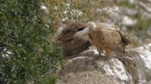 Adult Eurasian Griffon Vulture Standing In Nest Shaking It's Neck In Order To Regurgitate Food For Hungry Chick, A Small Amount Is Passed Then The Adult Takes Off