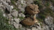 Eurasian Griffon Vultures Mating On The Edge Of A Rock Near Nest Site.