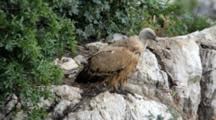 Adult Griffon Vulture Standing On Edge Of Nesting Ledge With Chick Laying Down Behind In Centre Of Nest