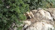 Griffon Vulture Chick Sitting In Nest Preening Talons Spreading It's  Wings And Preening