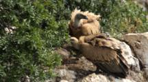 Adult Griffon Vultures Standing In Nest Picking At Pieces On Floor Of Nest Where Chick Is Laying .
