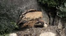 Adult Griffon Vulture Standing In Nest Cleaning Beak On Nesting Material, Chick  Is Resting Behind.