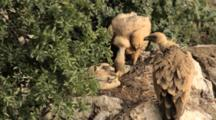 Adult Griffon Vultures Standing In Nest With One Preening Chick Laying In Centre Of Nest