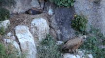 Adult Griffon Vulture Standing On Ledge Below Nest, Displaying  Aggressive Behavior, As Chick Rests In Nest B
