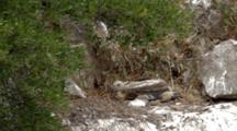 Griffon Vulture Chick In Nest Moving Nesting Material Around
