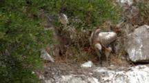 Griffon Vulture Chick Standing In Nest Moving Nesting Material Around