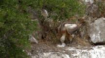 Griffon Vulture Chick Standing In Nest Stretching Wings And Turning To Defecate Over Edge Of Nest