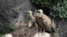 Griffon Vulture Standing On Edge Of Nest Resting With Chick Behind Standing And Stretching Wings And  Preening