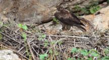 Adult Bonelli's Eagle In Nest Holding  Small Piece Of Pine Tree In It's Beak, With Chick Resting In Nest