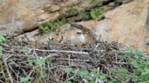 Adult Bonelli's Eagle Landing In Nest With Prey In It's Left Talons,Where An Approximately 7-10 Day Old Chick Waits To Be Fed