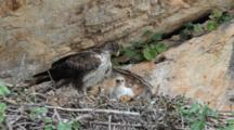 Bonelli's Eagle Standing In Nest With 7-10 Day Old Chick