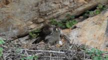 Bonelli's Eagle Standing In Nest Feeding It's Approximately  7-10 Day Old Chick