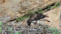 Bonelli's Eagle Standing In Nest Feeding Itself And It's Approximately  7-10 Day Old Chick