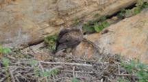 Bonelli's Eagle Standing In Nest  With It's  Approximately  7-10 Day Old Chick Waiting To Be Fed