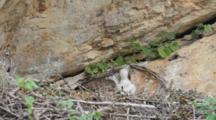 Bonelli's Eagle Laying  In Nest  With It's  Approximately  7-10 Day Old Chick Resting Under It's Breast Feathers, With Adult Moving Twigs Around.