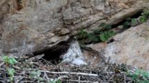 Bonelli's Eagle Laying  In Nest  With It's  Approximately  7-10 Day Old Chick Moving Around Under It's Breast Feathers.