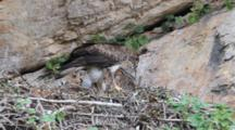 Bonelli's Eagle Standing In Nest Feeding Itself On Long Intestine Of It's Prey While It's Approximately  7-10 Day Old Chick Waits It's Turn Behind.