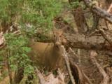 Adult Female Southern Andean Huemul Grazing In Dense Shrubs Near Fallen Trunk