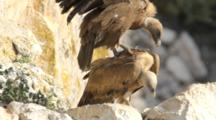 Adult Eurasian Griffon Vultures Standing Near Nest Mating,With Chick Resting In Nest In Bottom Corner Of Shot