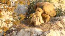 Adult Eurasian Griffon Vulture In Nest With Chick, With Chick Pecking The Air And It's Parents Beak Until The Adult Regurgitates A Small Amount Of Food Into The Chicks Beak