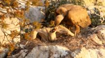 Adult Eurasian Griffon Vulture In Nest  Regurgitating Food Into Hungry Chicks Beak  Chick  But Takes It Back From Chicks Beak Before It Can Swallow It, Adult Then Swallows It Again