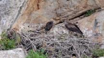 Adult Bonelli's Eagle Standing On Edge Of Nest  With 2 Chicks In Nest, One Standing And Defecating Then Laying Down And The Second Chick Standing .