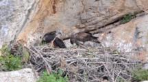 Adult Bonelli's Eagle Standing On Edge Of Nest With Carcass At It's Feet Feeding Itself And One Of The Two Chicks It Has Reared