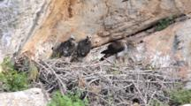 Adult Bonelli's Eagle Standing On Edge Of Nest  With 2 Chicks Standing To The Side.Adult Starts To Pick At Carcass At It's Feet And Turns Around To Feed One Chick