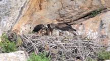 Adult Bonelli's Eagle Standing On Edge Of Nest  With 2 Chicks Standing To The Side.Adult Starts To Pick At Carcass At It's Feet And Feeds One Chick