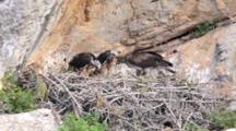 Adult Bonelli's Eagle Standing On Edge Of Nest  With 2 Chicks Standing To The Side. One Chick Has Long Piece Of Carrion Stuck In It's Throat With End Sticking Out Of It's Beak,This Chick Also Defecates.
