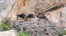 Adult Bonelli's Eagle Standing On Edge Of Nest  With 2 Chicks Standing To The Side. One Chick Has Long Piece Of Carrion Stuck In It's Throat With End Sticking Out Of It's Beak, The Adult  Picks At The Carcass Once For Itself.